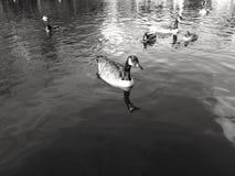 Утки в воде Стоковые Фотографии RF