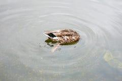 Утки в Гайд-парке Стоковое Фото