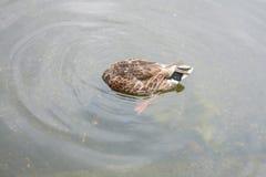 Утки в Гайд-парке Стоковые Изображения RF