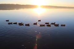 Утки в заходе солнца, Вайле, Дания стоковая фотография rf