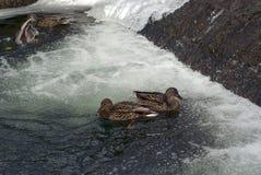 Утки в зиме на канале в городе паркуют Стоковые Изображения