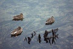 3 утки в кристалле - ясном озере Стоковое Фото