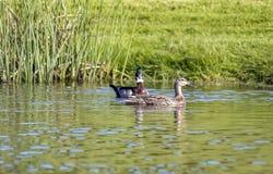 2 утки в мирном пруде Стоковое Изображение