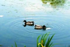 Утки в озере Стоковые Изображения