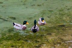 3 утки в озере Стоковые Изображения