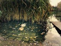 Утки в озере Стоковое фото RF