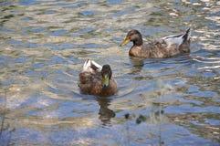 Утки в озере Стоковое Фото