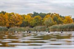 Утки в озере стоковое изображение rf