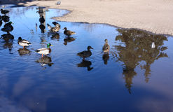 Утки в открытом море Стоковая Фотография RF