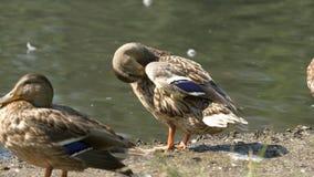 Утки в парке Утки в зеленом парке на красивый летний день Утки в парке города Стоковое Изображение RF