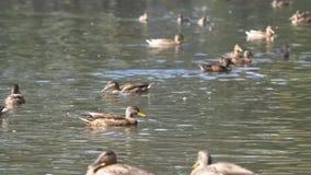 Утки в парке Утки в зеленом парке на красивый летний день Утки в парке города Стоковая Фотография RF