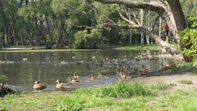 Утки в парке Утки в зеленом парке на красивый летний день Утки в парке города Стоковое Изображение