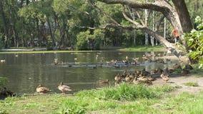 Утки в парке Утки в зеленом парке на красивый летний день Утки в парке города Стоковая Фотография