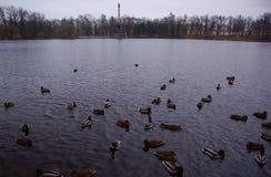 Утки в парке Катрина в Tsarskoe Selo Стоковое Изображение