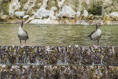 Утки в парке Стоковые Изображения