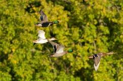 Утки в полете Стоковые Фото