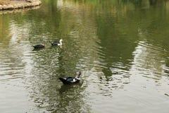 Утки в пруде сада стоковое изображение