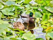 Утки в пруде среди лилий воды стоковая фотография rf