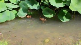 Утки в пруде под листьями цветка лотоса акции видеоматериалы