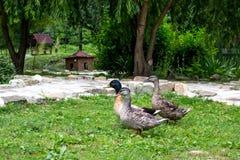 Утки в пруде стоковое изображение