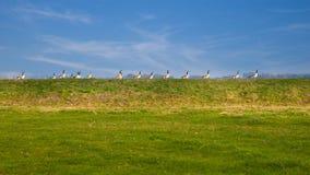 Утки в рядке Стоковые Фото