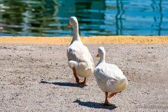 2 утки в ряд стоковые изображения rf