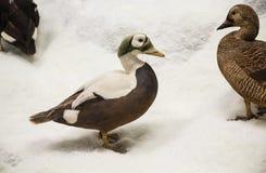 Утки в снежке Стоковые Фото