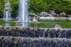 3 утки в фонтане Стоковые Фотографии RF