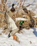 Утки летания Стоковые Фото