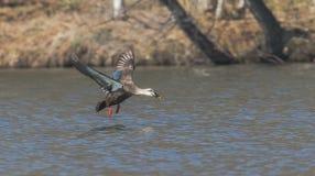 Утки летания Стоковые Фотографии RF