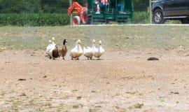 Утки идя через ферму сафари страны Стоковая Фотография