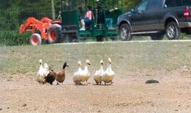 Утки идя через ферму сафари страны Стоковое Фото