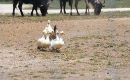 Утки идя через ферму сафари страны Стоковое Изображение