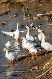 Утки и гусыни в пруде Стоковые Фотографии RF