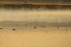 Утки и гусыни в свете золота, национальном парке Teton, Вайоминге Стоковые Изображения