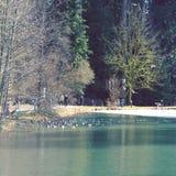 Утки и гусыни плавая в пруде Стоковое Изображение RF