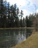 Утки и гусыни плавая в пруде Стоковая Фотография RF