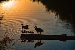 Утки и их утки младенца в заходе солнца в Vlissingen, Nederland Стоковое Изображение
