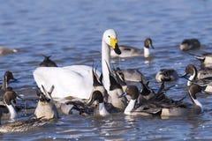 Утки и лебедь Стоковая Фотография RF