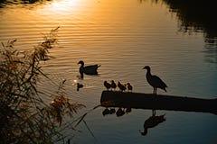 Утки и младенец ducks заходом солнца в реке Vlissingen, Nederland Стоковые Фотографии RF