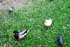 Утки и птицы в парке в Дюссельдорфе, Германии, окруженной цветками Стоковые Фотографии RF