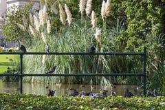 Утки и птицы голубя садясь на насест на загородке металла на Carlton садовничают Стоковая Фотография