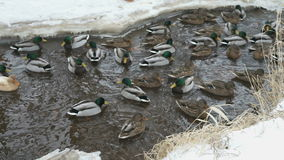 Утки и селезни плавают в заводи холодная зима видеоматериал