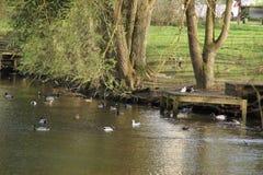 Утки которые плавают в озере Стоковые Изображения RF