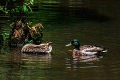 Утки кряквы на садах озера и радужки лебед стоковое фото rf