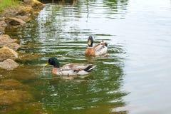 2 утки кряквы плавая на пруд на временени Стоковые Изображения RF
