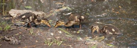 Утки кряквы птенеца Стоковое фото RF