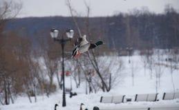 Утки летания в парке Стоковые Фото