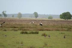 Утки летания идя для посадки Стоковые Фото