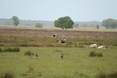 Утки летания идя для посадки Стоковые Фотографии RF
